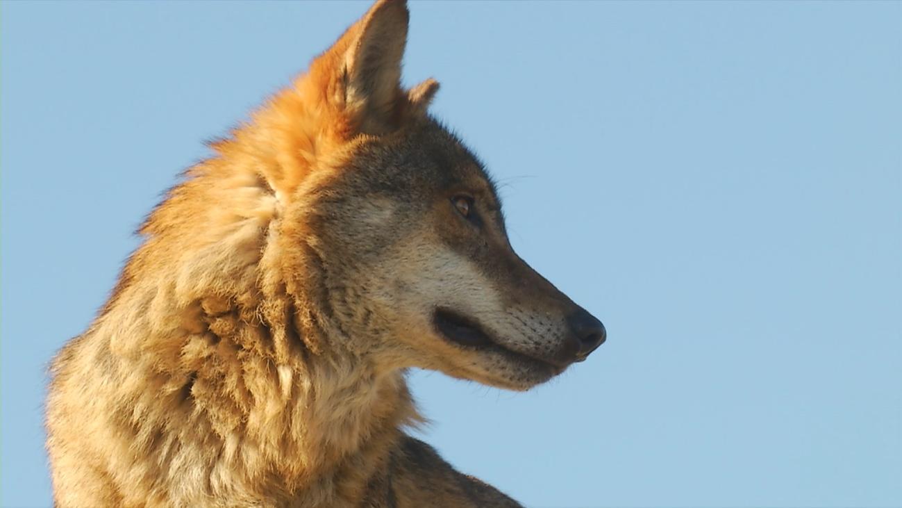 Nuevos ataques de lobos en Garganta de los Monte