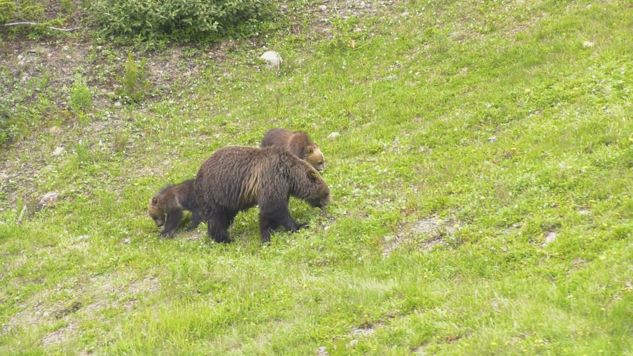 ¿Qué sabes de los osos grizzly?