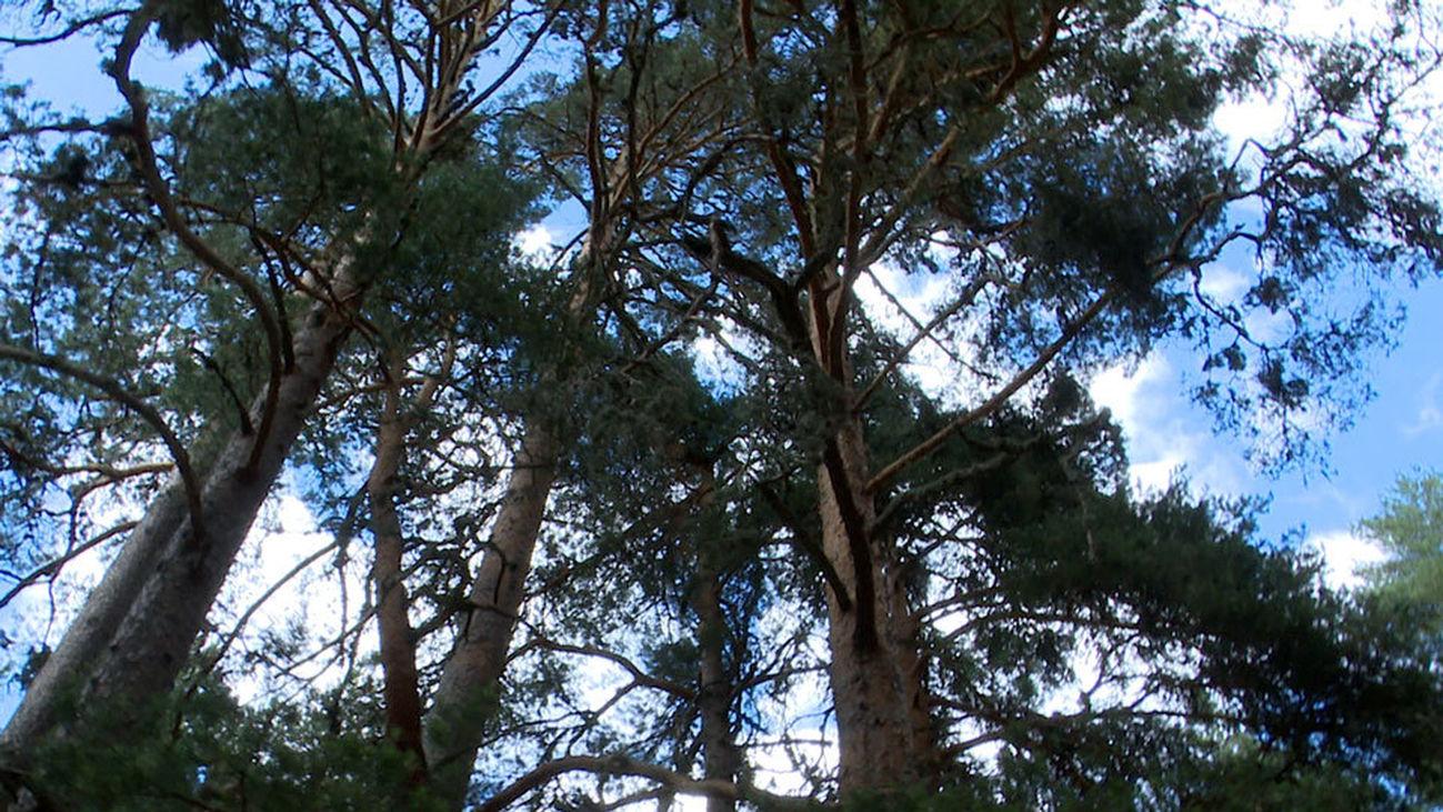 El Pinar de los Belgas, un paraíso forestal