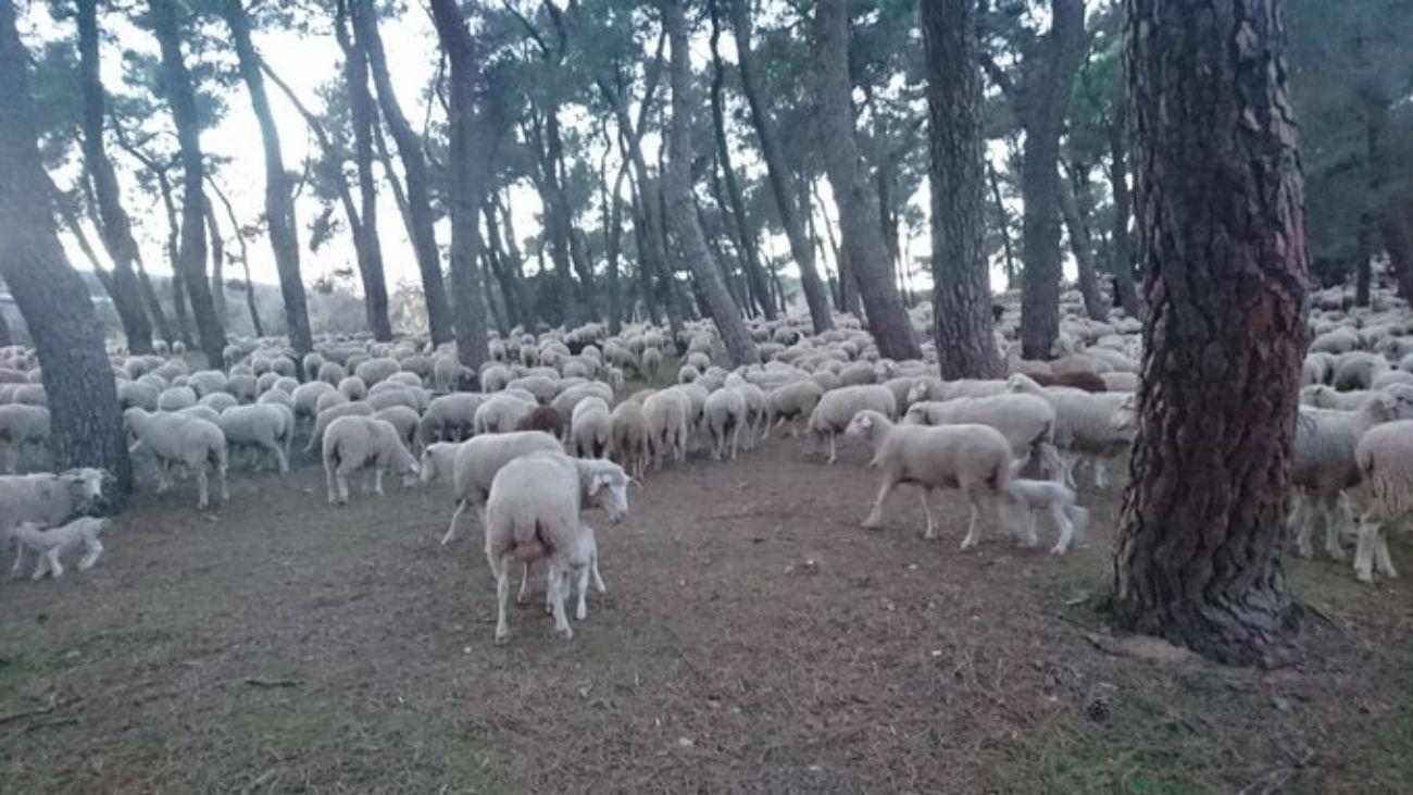 Un rebaño trashumante de 1.500 ovejas llega este fin de semana a la Sierra de Guadarrama