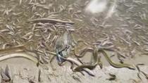 Miles de peces muertos en el Mar Menor por la falta de oxigeno