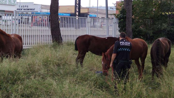 La Policía de Fuenlabrada retira cuatro caballos sueltos en la carretera M-506