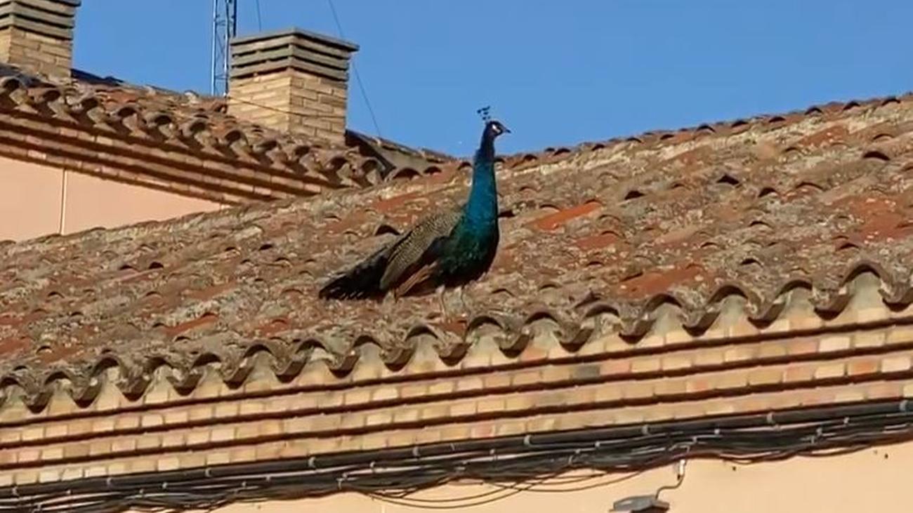 La imagen curiosa de un pavo real paseando por los tejados de Alcalá de Henares