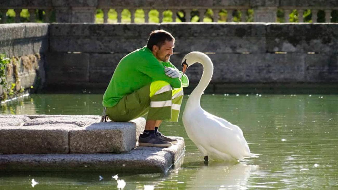 La insólita relación entre un cisne y su cuidador en El Escorial