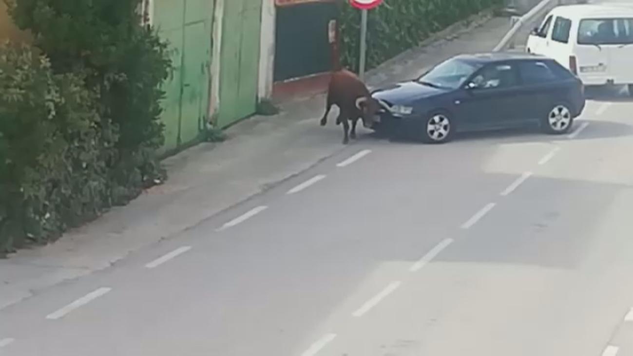 Un toro se escapa en Pastrana y convierte sus calles en un plaza