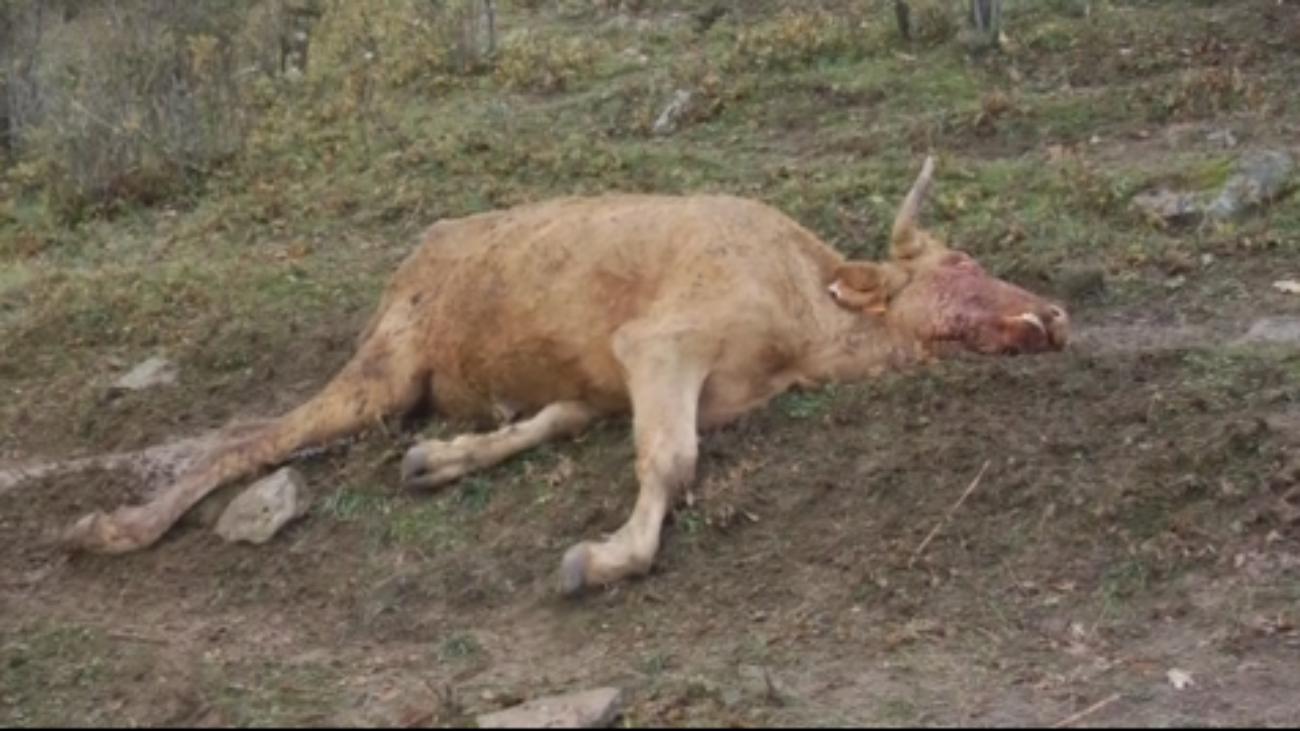 """Ganaderos denuncian """"ataques"""" de buitres a un ganado vivo en Canencia"""