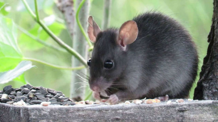 Se detecta la por primera presencia de rata negra en Madrid