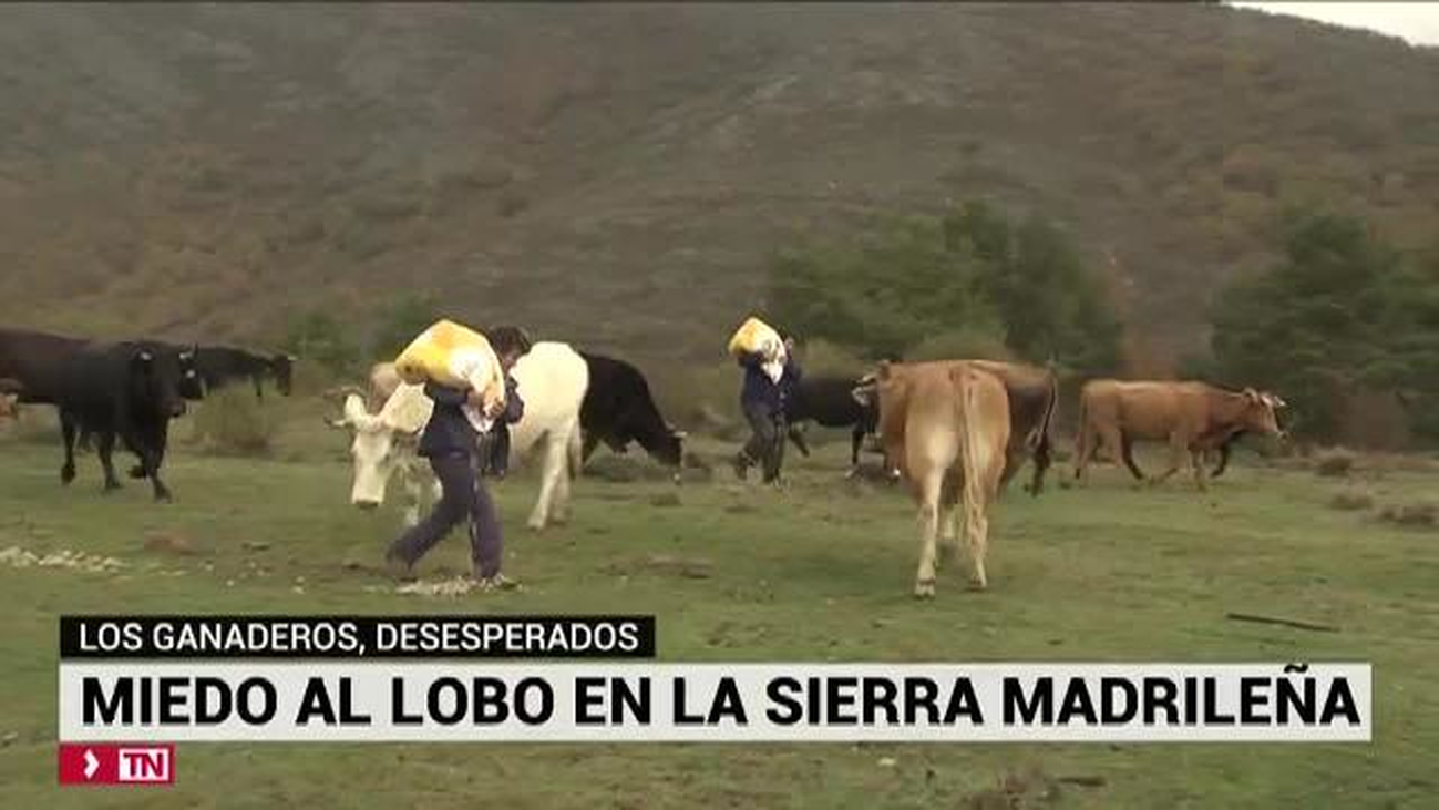 Los ganaderos, desesperados: miedo al lobo en la Sierra madrileña