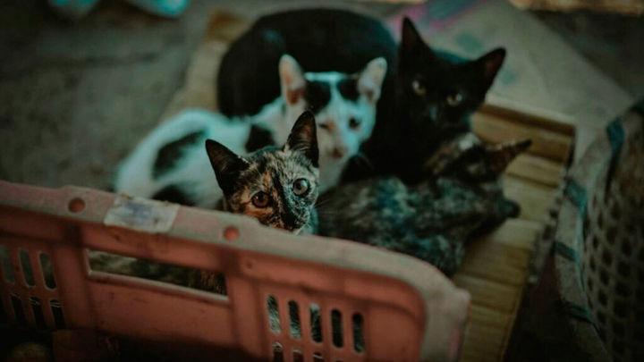 Leganés comenzará a capturar y esterilizar gatos callejeros para controlar su población