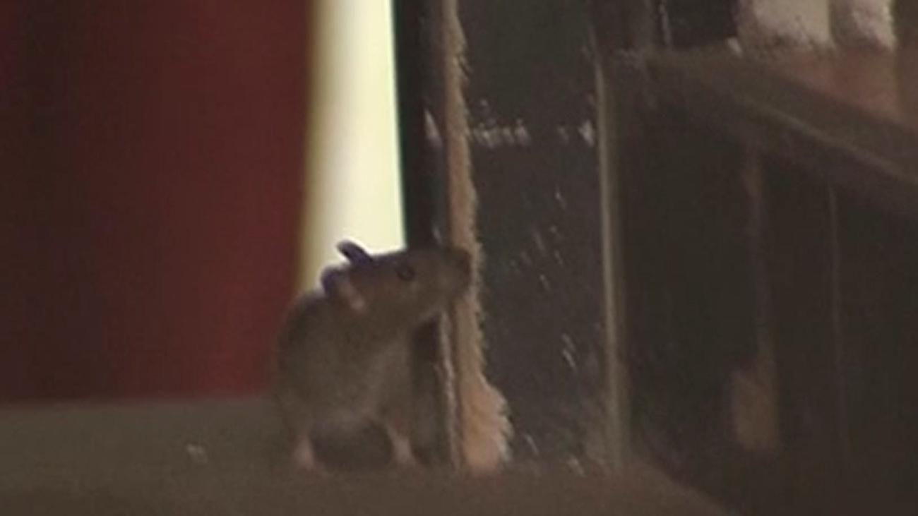 Ratas y cucarachas en una pizzería del centro de Madrid