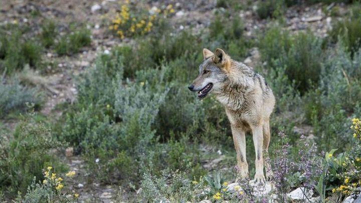 Hallan muerto un lobo que participaba en un proyecto de conservación
