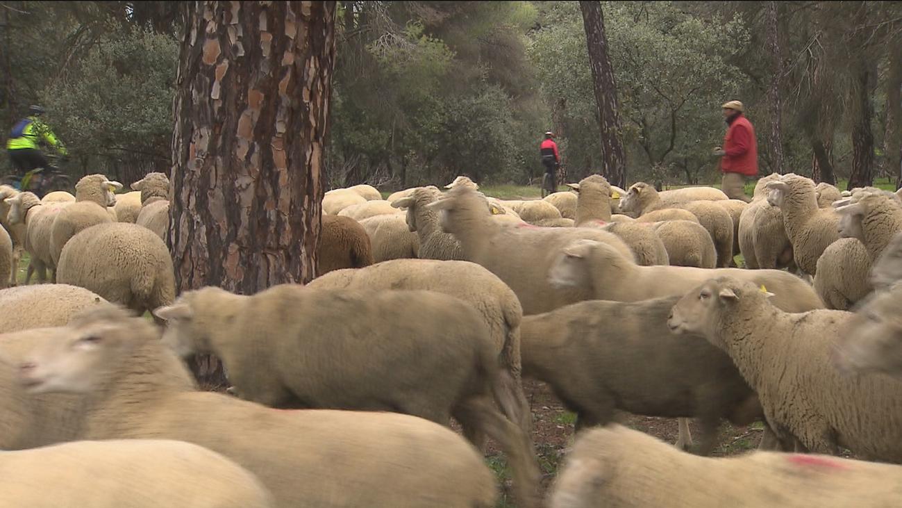 """Boadilla cuenta con ovejas """"bombero"""" para prevenir incendios forestales"""
