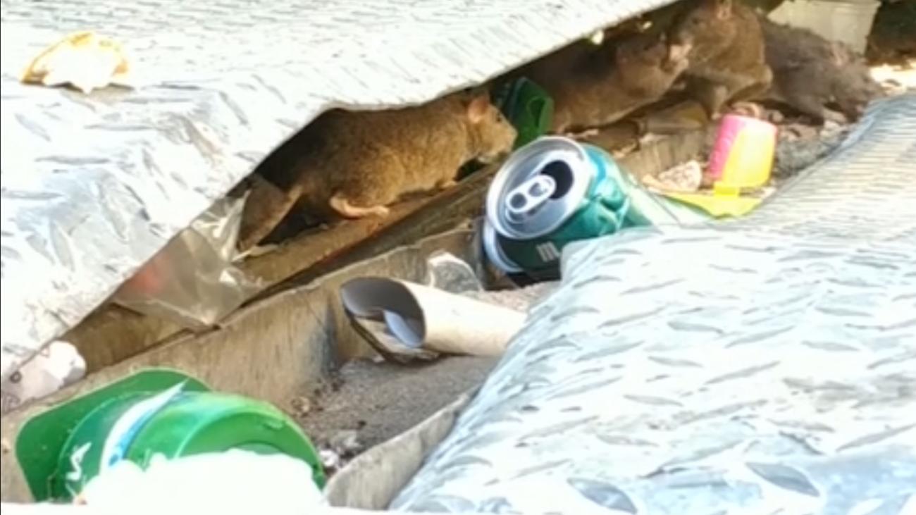 Invasión de ratas gigantes en Alcorcón