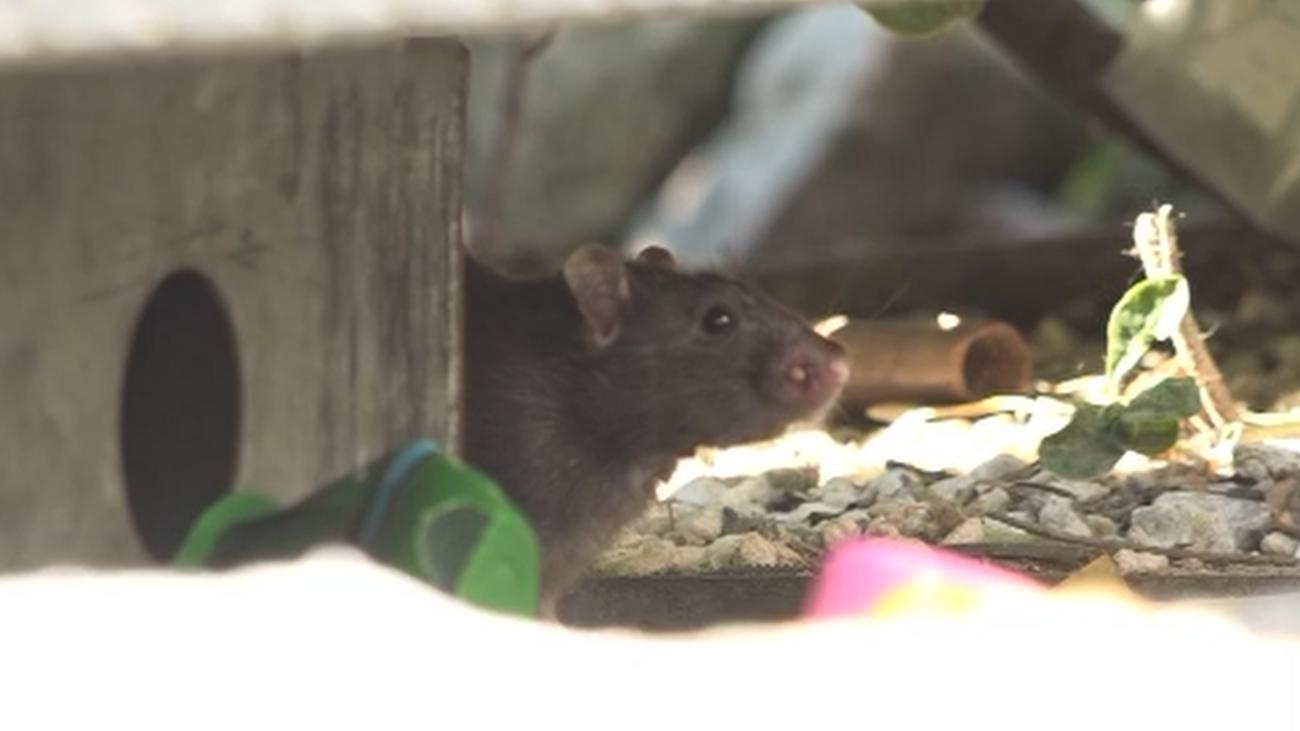 ¿El fin de la invasión de ratas en Alcorcón?