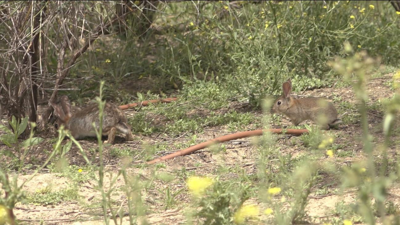 Una plaga de conejos enfrenta a agricultores y ecologistas