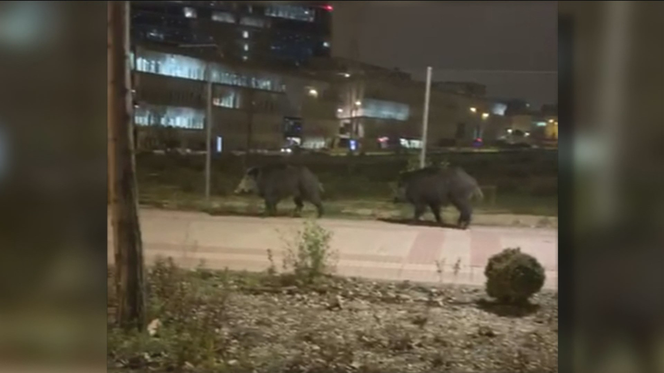 Una pareja de jabalíes pasea por el centro de Las Tablas