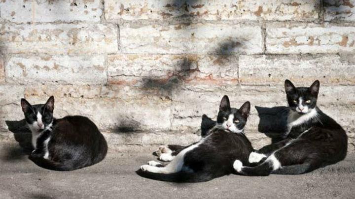 Manzanares El Real esterilizará a los gatos callejeros