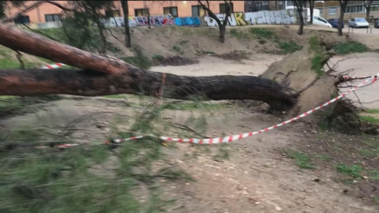 El viento arranca de raíz un enorme árbol en un parque cercano a Madrid Río
