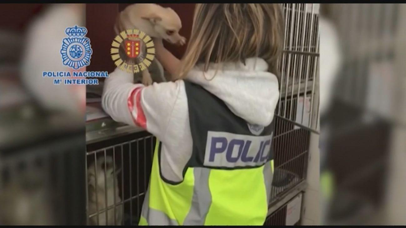 Desmantelan en Arganda dos criaderos de chihuahuas con varios veterinarios detenidos