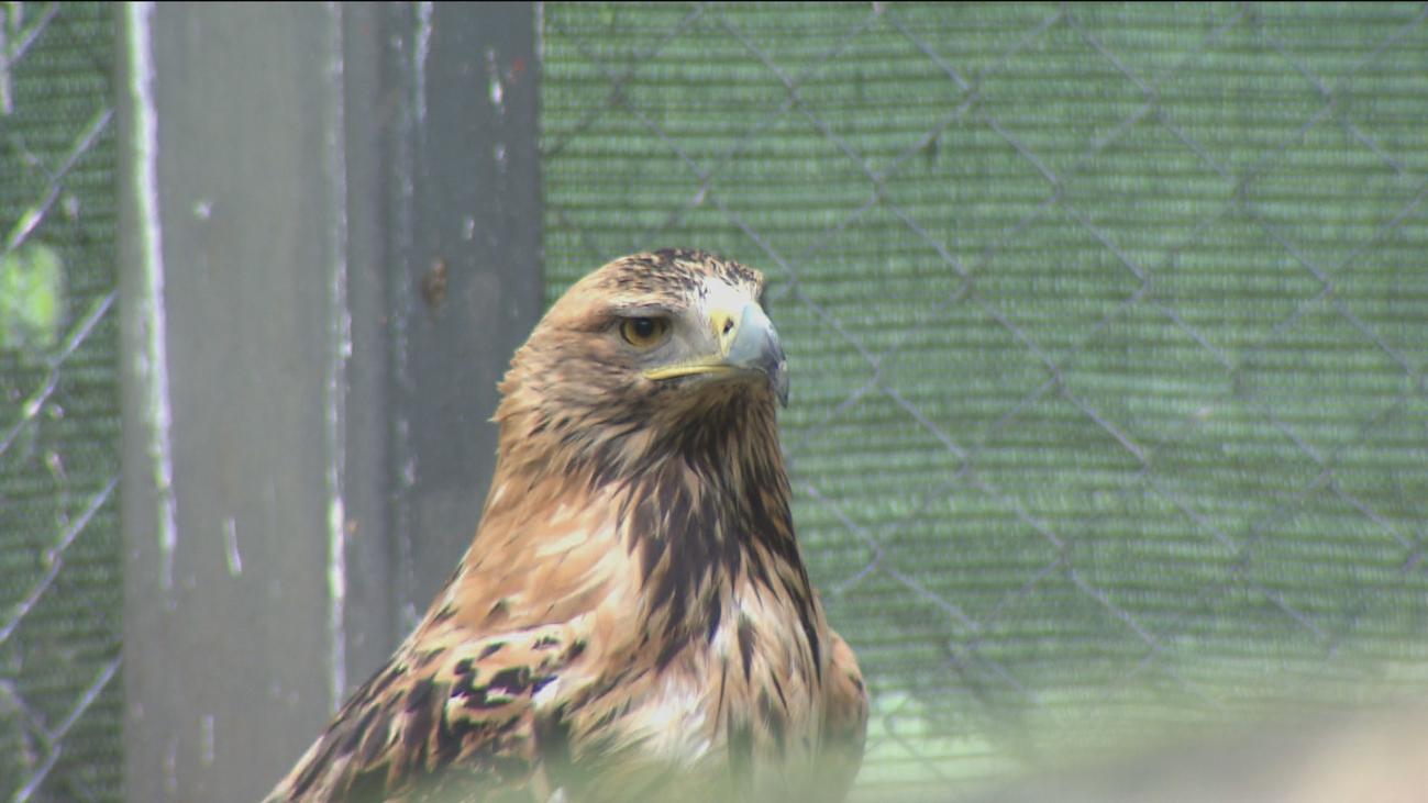 El águila imperial remonta el vuelo en Madrid con 73 parejas