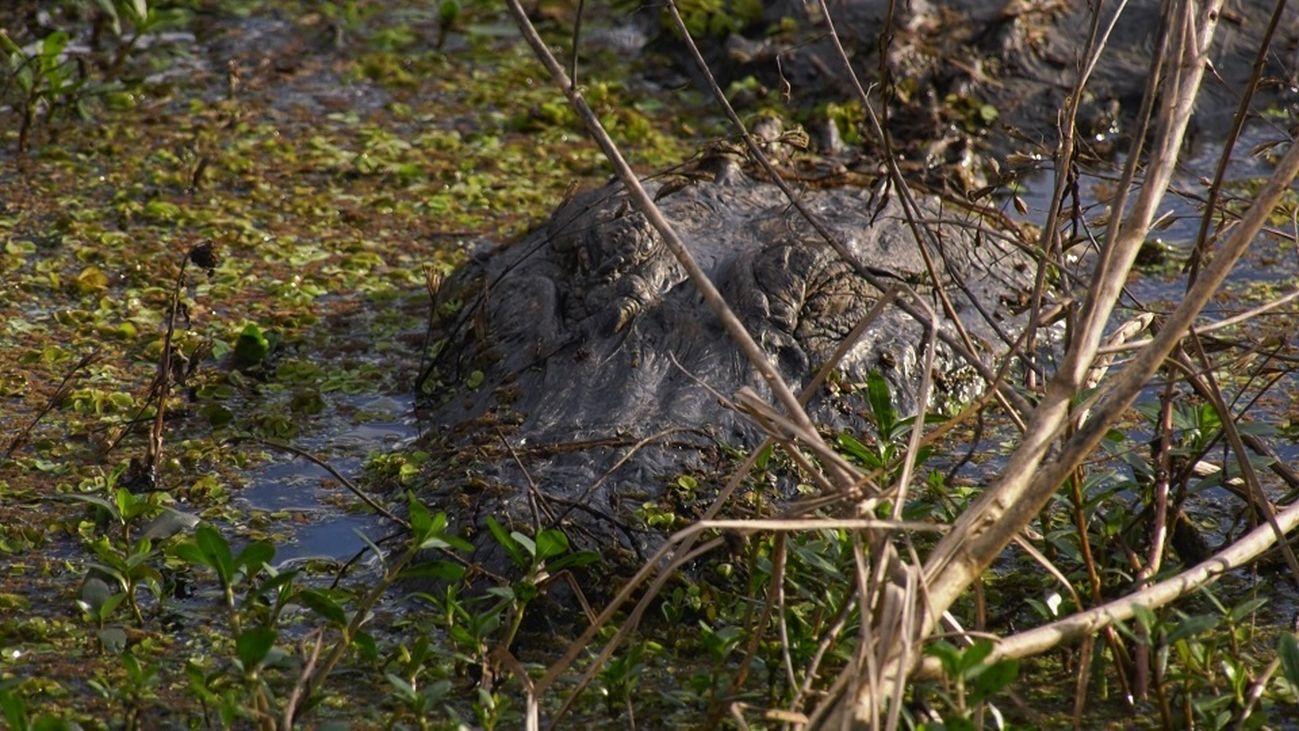 Luisiana, el Estado con más caimanes de Estados Unidos