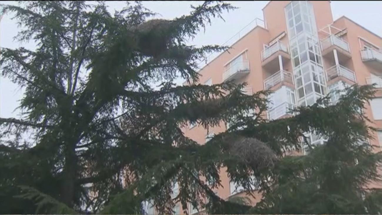 Un nido de cotorras argentinas de 100 kilos de peso mantiene en vilo a vecinos de Alcorcón