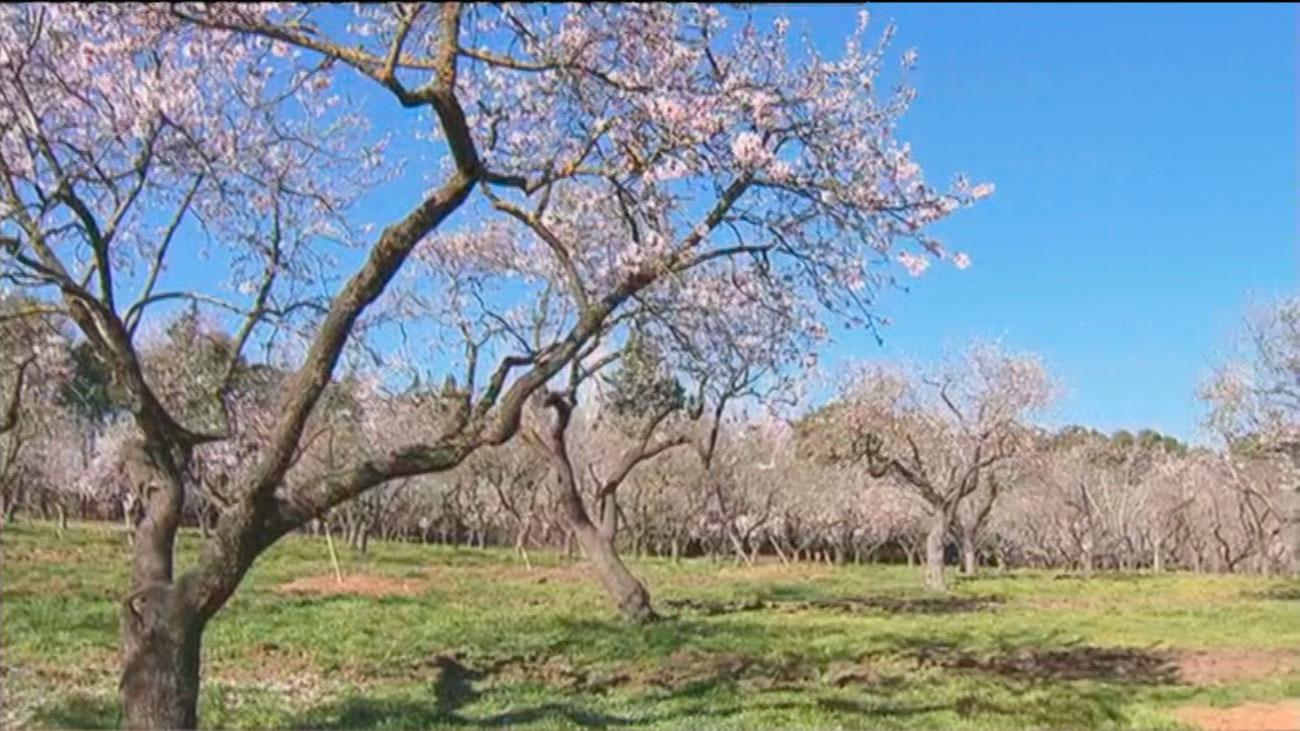 Las cotorras ponen en peligro la estampa primaveral de los almendros en flor de la Quinta de los Molinos