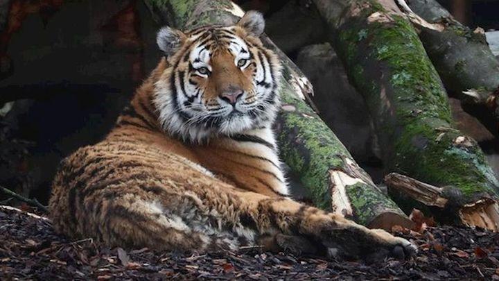 Un tigre del zoológico del Bronx de Nueva York da positivo por coronavirus