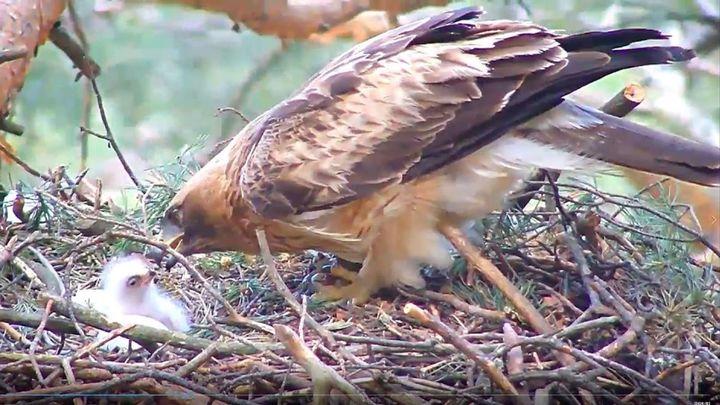 Una webcam permite conocer de cerca la vida de un águila calzada en la Sierra de Guadarrama