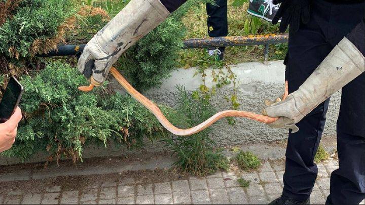 La Policía de Getafe captura una serpiente del maíz en el centro de la ciudad