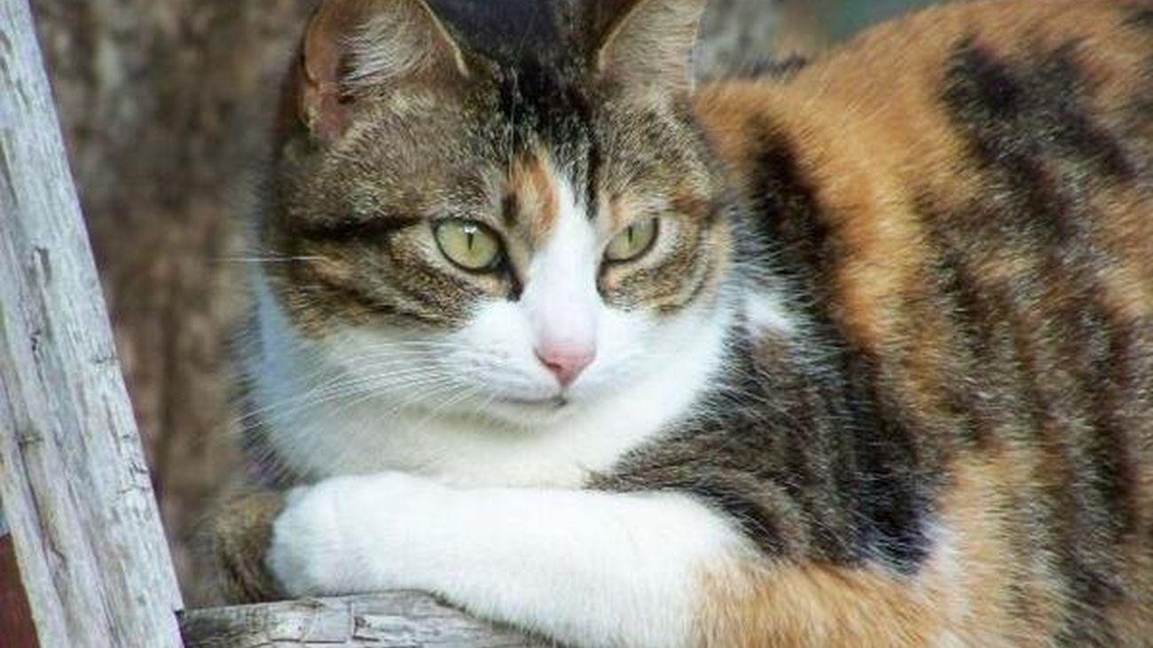 Los gatos se infectan de coronavirus por los humanos