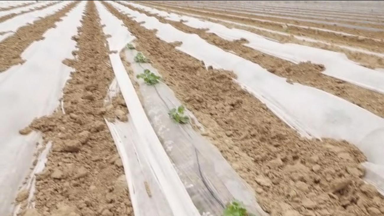 Arranca la temporada de siembra de melones y cebollas en  Villamanrique de Tajo