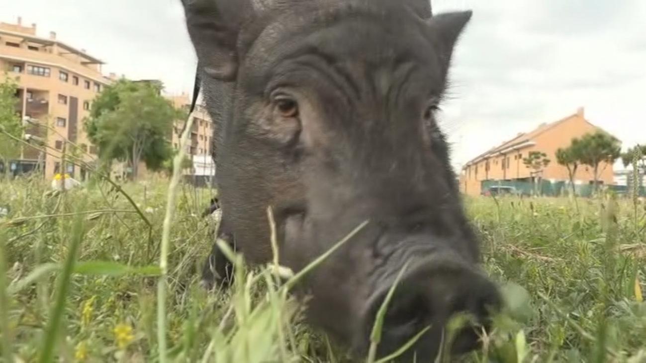 Pumba, el cerdo más famoso de Rivas