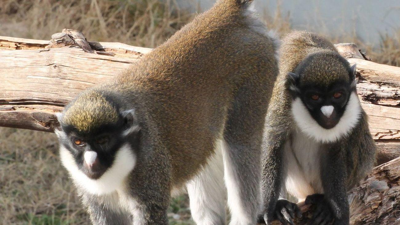 Dos hembras de cercopiteco, robadas de un refugio de primates de Fuente el Saz