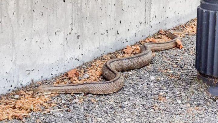 Capturan una serpiente de dos metros en el Centro Comercial Parque Rivas
