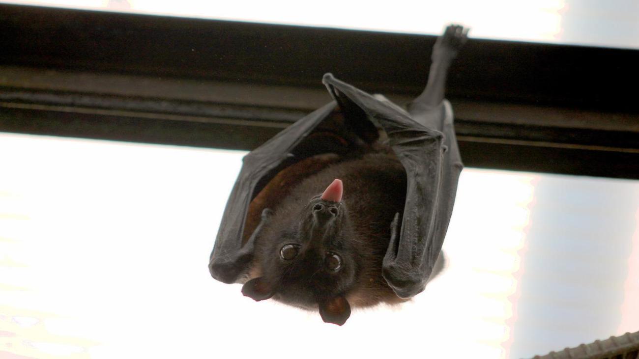 Esto es lo que debes hacer si te topas con un 'murciélago enano' en Madrid
