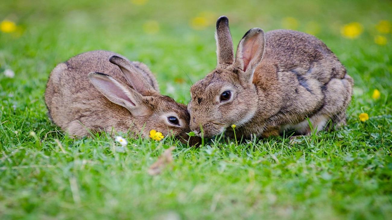 Así controlan la superpoblación de conejos en Madrid