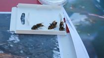 Las claves para diferenciar una avispa 'asesina' de otras especies