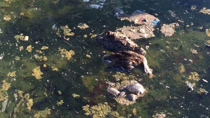 """Hallan """"decenas de patos muertos"""" en una laguna de Leganés"""