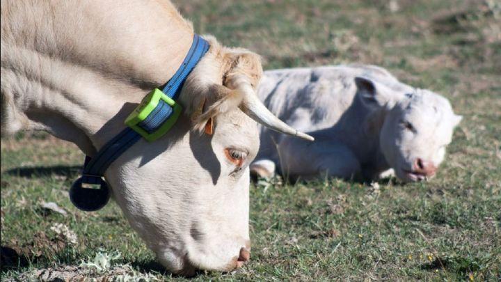 El Boalo-Cerceda-Mataelpino equipara a vacas, caballos, ovejas y cabras con GPS