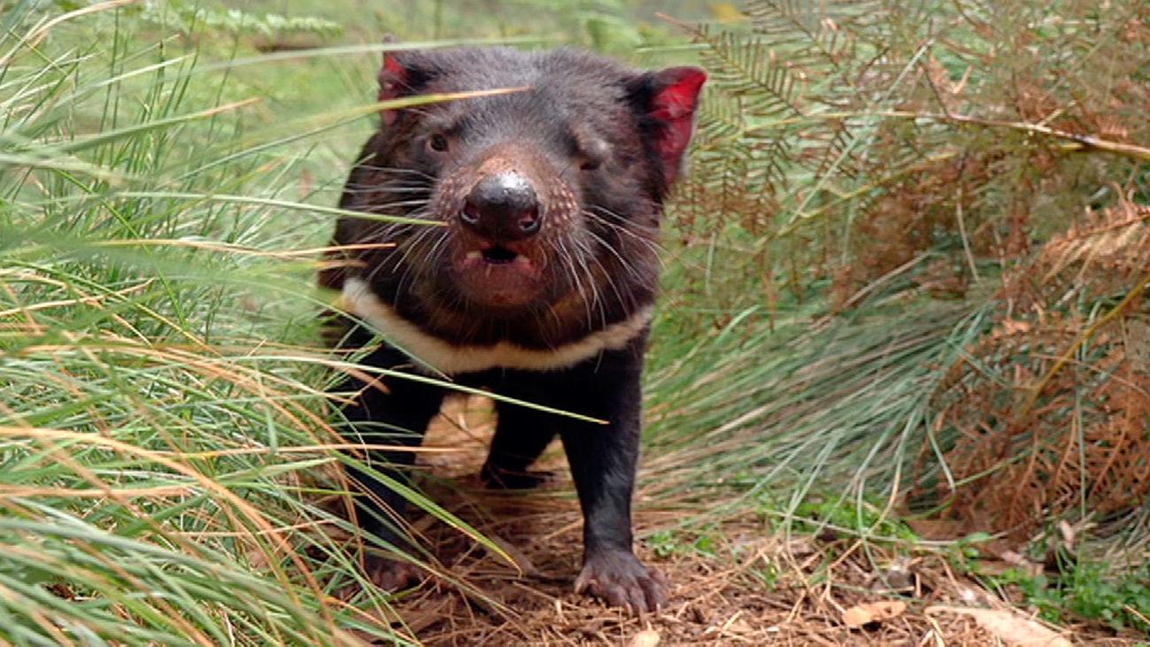 Escena del documental 'La vida secreta del diablo de Tasmania'