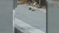 Las ratas atemorizan al barrio del Restón en Valdemoro