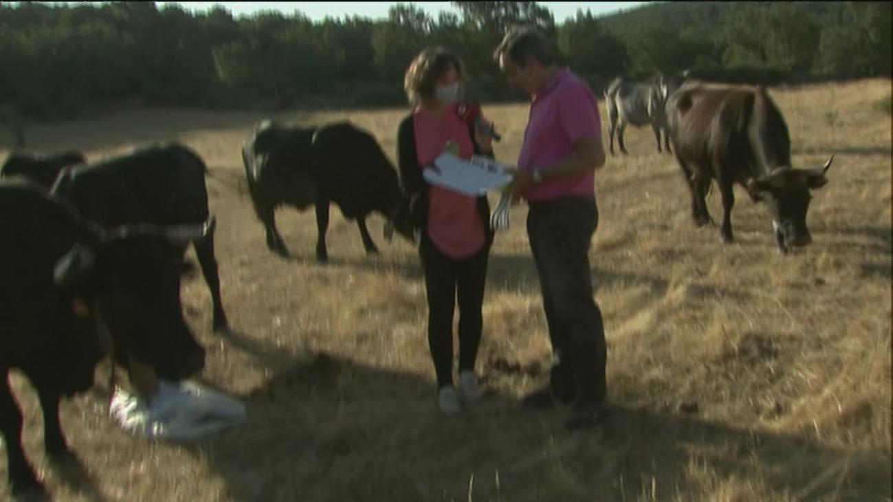Un 'ejército' de ganado localizado por GPS limpia el monte de Madrid en la lucha contra el fuego