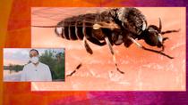 Madrid en alerta por la llegada de la mosca negra