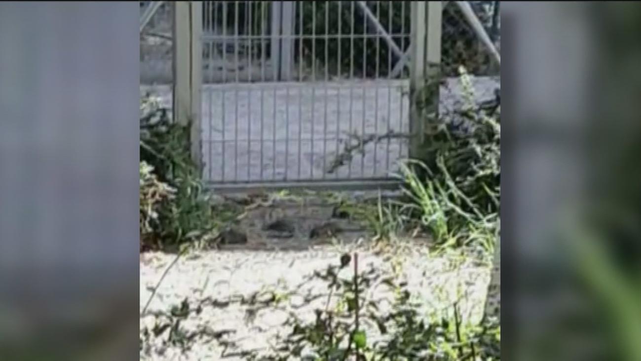 Las ratas campan a sus anchas en los jardines de varias  fincas de Avenida de América