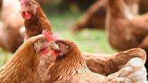 Se dispara la venta de gallinas para autoconsumo por miedo a un nuevo confinamiento