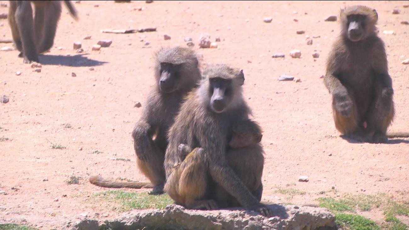 El Safari de Madrid toma medidas contra el calor de los animales
