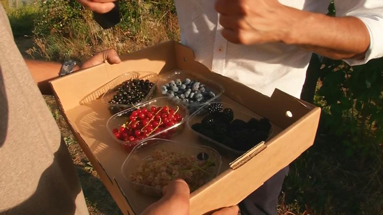 Cultivo de frutos del bosque ecológicos en Lozoya