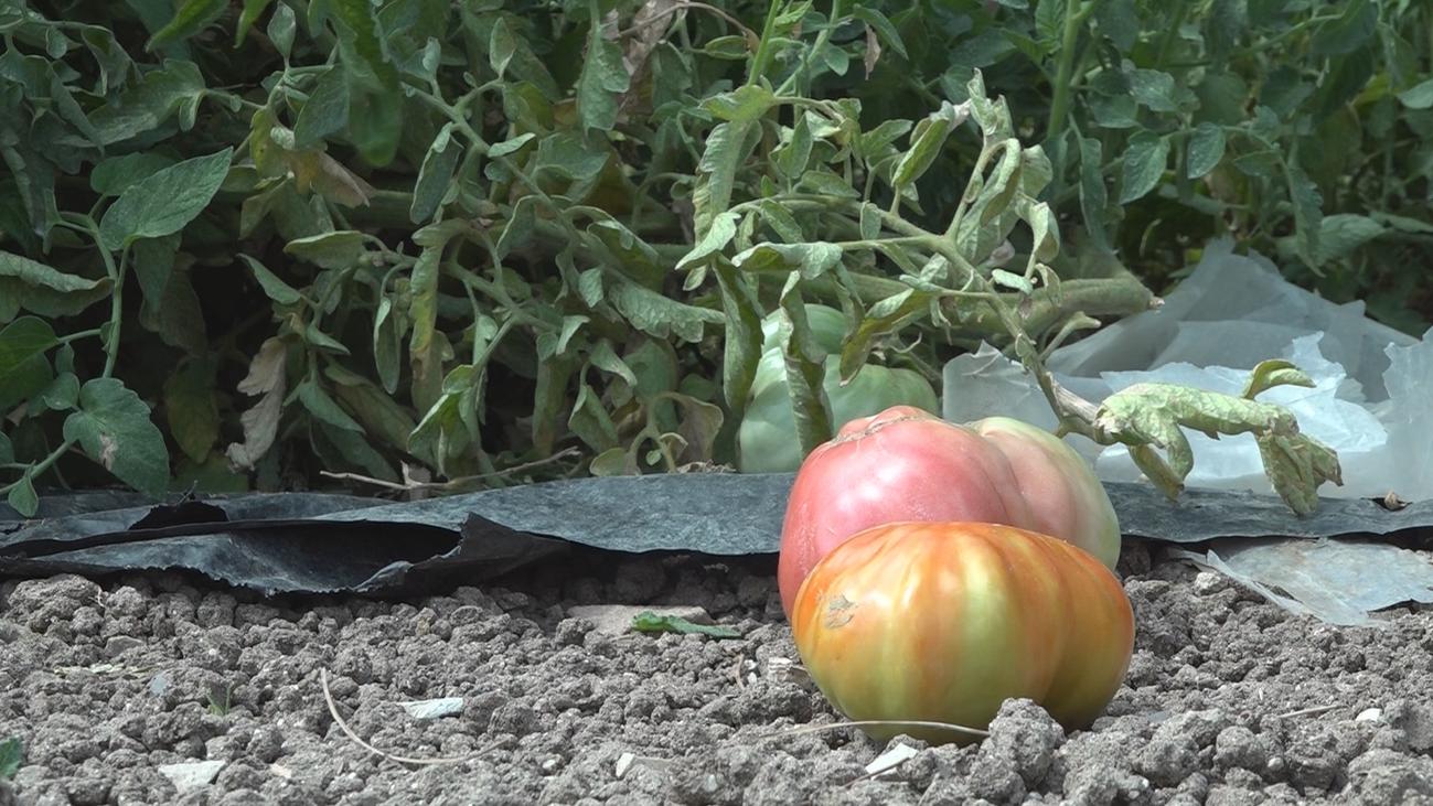 La Comunidad de Madrid recupera a Moruno, Gordo y Antiguo, tres variedades de tomate de los 60