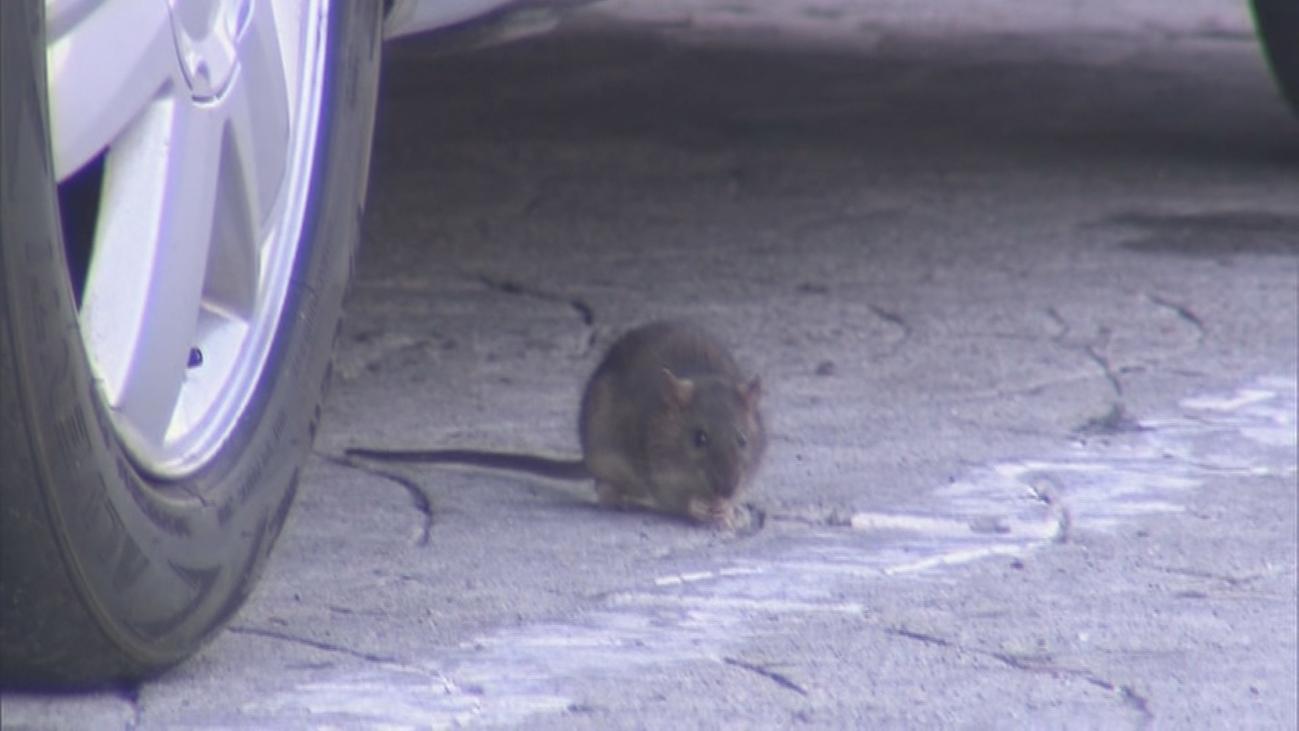 Pasear entre ratas, el día a día de unos vecinos de Colmenar Viejo